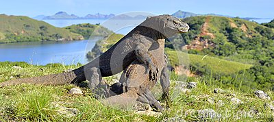 The Fighting Komodo dragons Varanus komodoensis for domination. It is the biggest living lizard in the world. Island Rinca. Indon