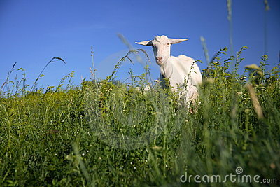 Goat on the green field