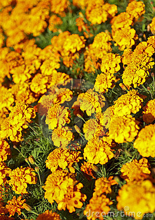 flower bed of beautiful marigold