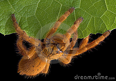 Tarantula crawling on leaf edge