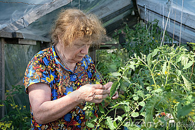 Old woman in a hothouse examines tomatoes