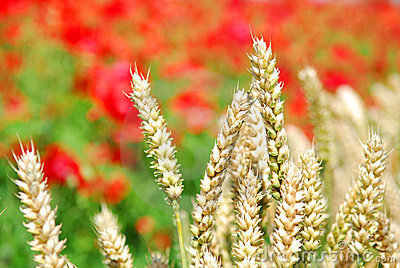 Wheat and poppies shallow dof