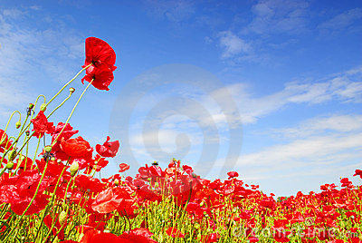 Poppies and blue sky in holland