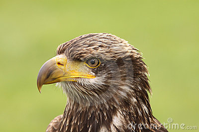 Portrait of a young bald eagle