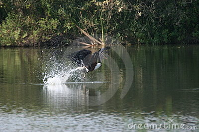 Fish Eagle's Catch (Haliaeetus vocifer)
