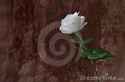 Elegant white rose against grungy background