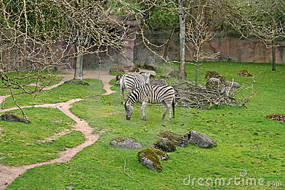 Zebras in zoo