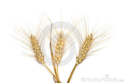 Three wheat spikes