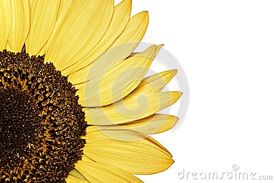 Natural colorful sunflower on white background. isolated