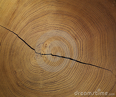Slice of wood tree ring