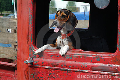 Beagle in Pickup