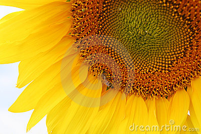 Sunflower with the bee