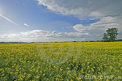 Canola Field and Blue Skies