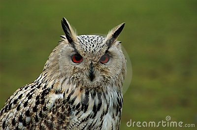 Eyes of an eagle owl