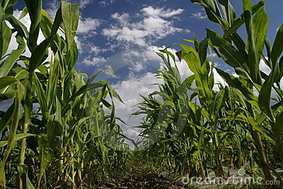 Sweetcorn Field