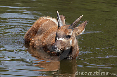 Sitatunga (swamp antelope) in the water