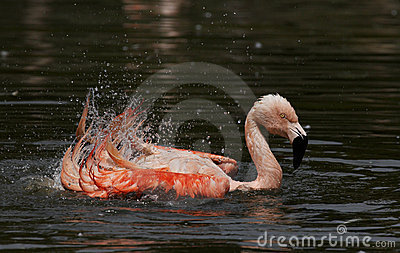 Flamingo splashing