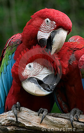 Couple (Green-winged macaws)