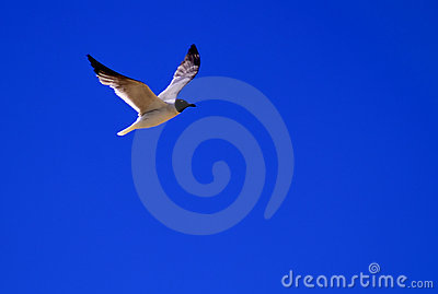 Gull / Tern in Flight