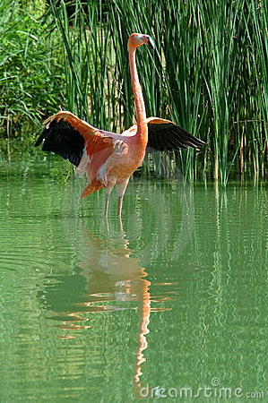 Pink flamingo readying for flight