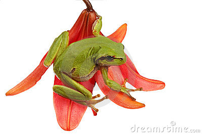 Tree-frog on a flower