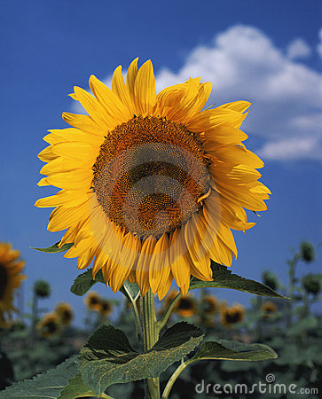 Bright colorful sunflower