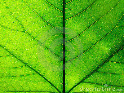 Detail photography of big green leaf