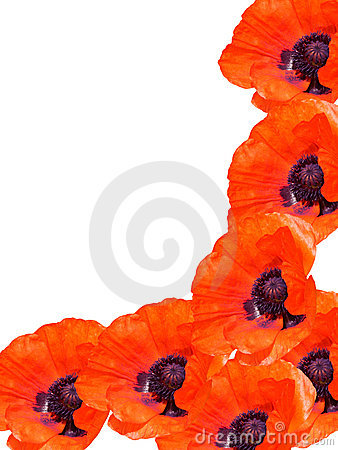 Flowers poppies