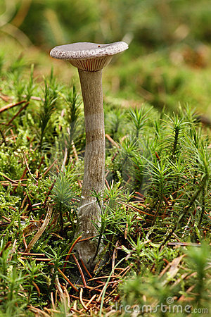 Pseudoclitocybe cyathiformis - Mushroom in moss.