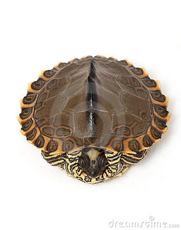 Pearl River Map Turtle