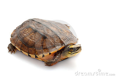 Golden coin box turtle