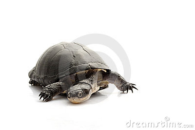 East African Black Mud Turtle