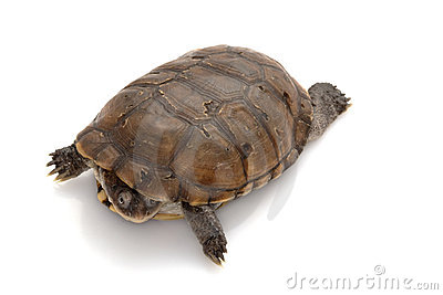 North African helmeted turtle