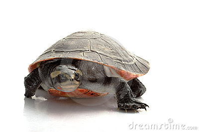 Pink-bellied Sideneck Turtle
