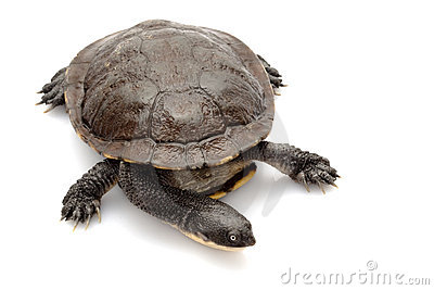 East snake-necked turtle