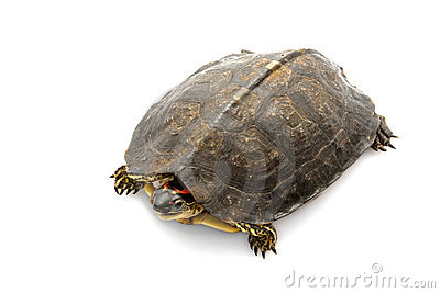 South American wood turtle