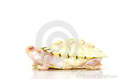 Albino red-eared slider