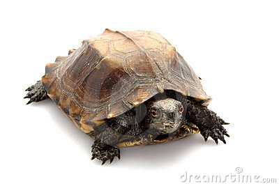 Jagged shell box turtle