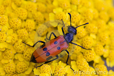 Red bug on yellow flower