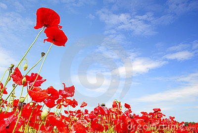 Red poppies and blue sky in holland