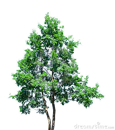 Green tree isolated