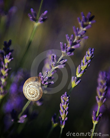 Snail on Lavender