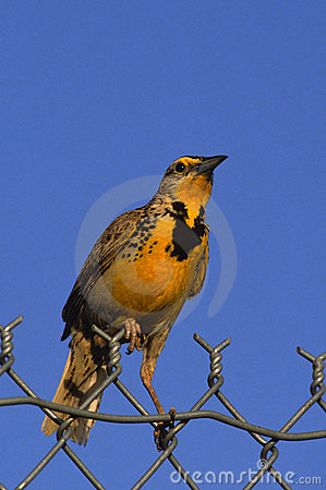 Meadowlark on Fence