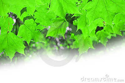 Summer maple foliage on a white background