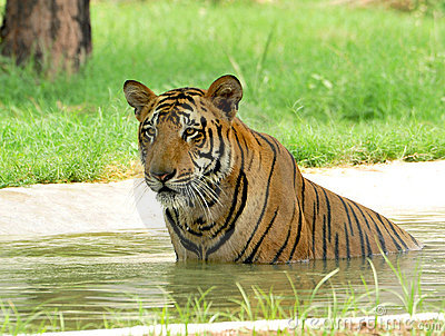 Tiger fighting hot summers