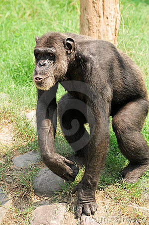 Whistling chimpanzee