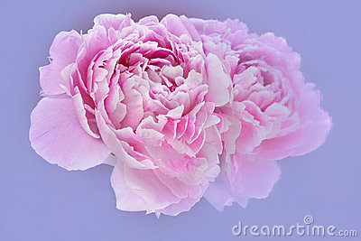 Pink peony and reflection on pale blue background