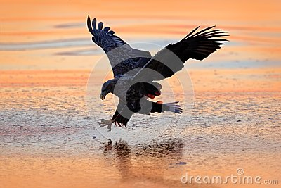Sunrise with eagle. Hunter in weater. Eagle fight with fish. Winter scene with bird of prey. Big eagle, snow sea. Flight White-tai