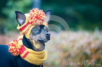 Little dog in an autumn hat and scarf. Funny, funny puppy. Theme of autumn, cold.