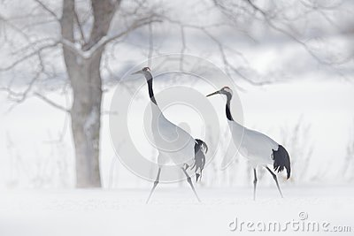 Dancing pair of Red-crowned crane, snow storm, Hokkaido, Japan. Bird in fly, winter scene with snow. Snow dance in nature. Wildlif